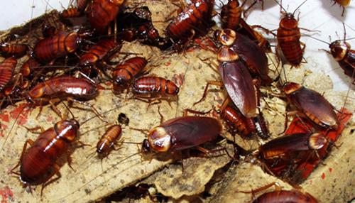 Тараканы в этажных домах: поговорим о причинах появления